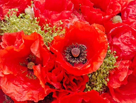 Bouquet of red wild flowers of Papaver rhoeas close up (corn poppy, corn rose, field poppy), isolated on white background.