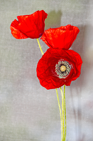 Red wild flowers of Papaver rhoeas, corn field poppy with buds, close up.