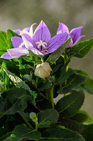 Platycodon grandiflorus astra blue, balloon flower with buds and green leafs. Reklamní fotografie
