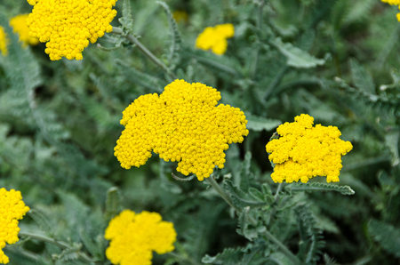 Yellow yarrow flowers, green field bush plant, Achillea millefolium (Coada Soricelului) close up.