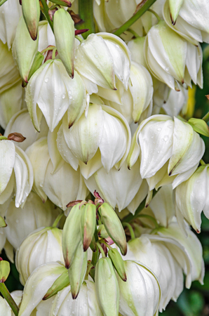 White Yucca filamentosa bush flowers,  other names include Adams needle, common yucca, Spanish bayonet, bear-grass, needle-palm, silk-grass, and spoon-leaf yucca.