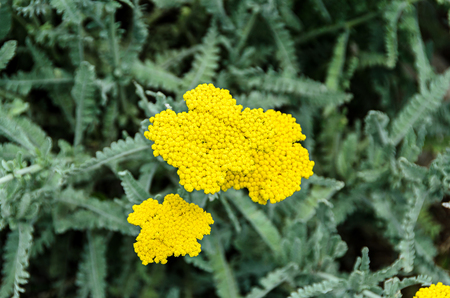 Yellow yarrow flowers, green field bush plant, Achillea millefolium (Coada Soricelului) close up. 스톡 콘텐츠