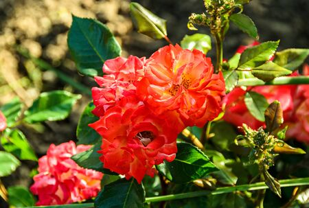 Orange rose flowers, green branch plant, bokeh background.