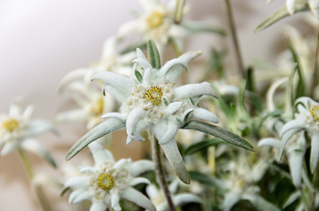 White Leontopodium nivale, edelweiss mountain flowers, close up. Stock Photo