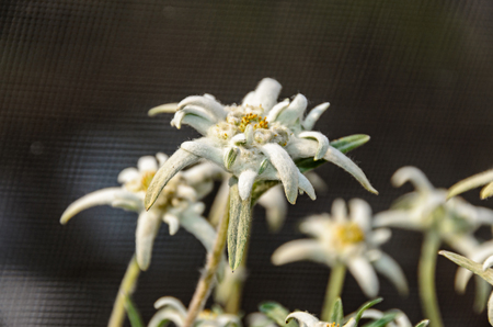 ホワイト・レオントポジウム・ニベール、エデルワイス山の花、クローズアップ。