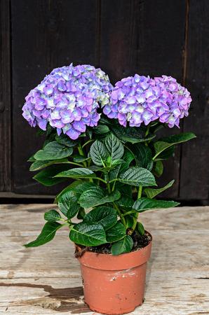 Violet, mauve Hydrangea flowers in a vase, hortensia petals close up, ornamental plant vintage background.