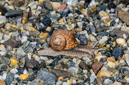 Snail with brown shell on the ground, open antenas, rocks background close up. Stock Photo