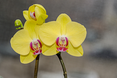 Yellow orchid branch phal flowers, close up, window background.