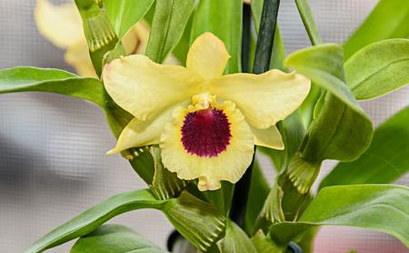 Yellow imperial orchid branch flower, Dendrobium Frieda Bratanata.