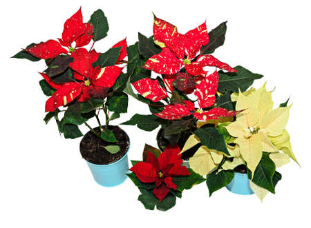 Red spotted christmas flower plant, poinsettia close up. Banco de Imagens