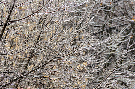 Freeze rain, trees branches covered by deep ice.