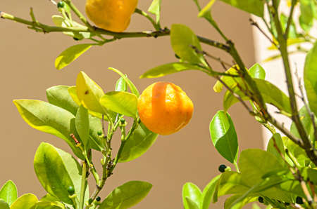 Orange fruit growing in a green tree.