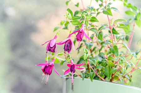 Beautiful Fuchsia flowers at window, close up natural bokeh Banco de Imagens