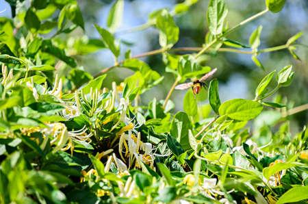 Lonicera caprifolium, the Italian woodbine,  perfoliate honeysuckle  or perfoliate woodbine.