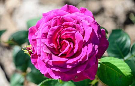 Mauve rose flower, green vegetation bokeh background.