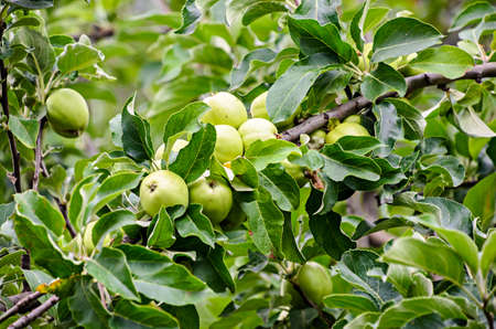 Yellow apple fruits in the tree, apple tree branch. The apple tree (Malus domestica), rose family