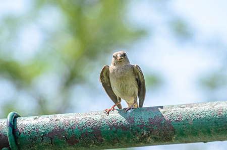 The black redstart Phoenicurus ochruros bird with food in the beak, sparrow close up.