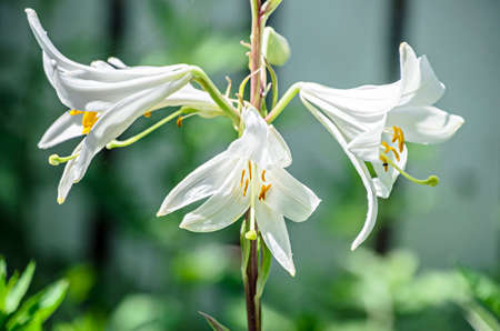 White branch Lilium flowers, green leafs close up.