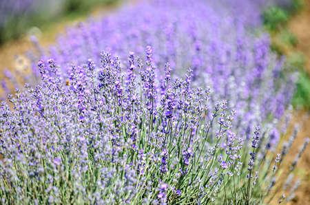 Blue violet levandula flowers, field countryside, close up. Banco de Imagens