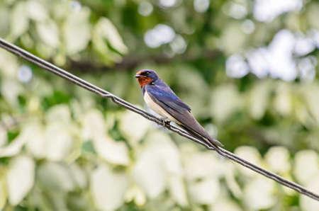 Colored the barn swallow (Hirundo rustica) bird, close up. Banco de Imagens