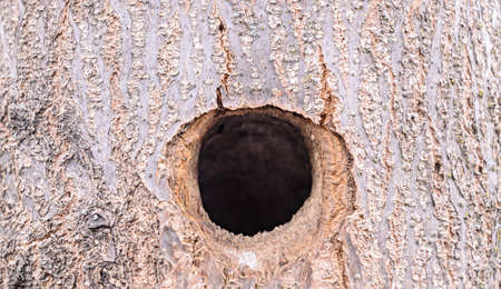 Tree home made by woodpecker, close up.