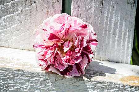 Pink and rose rose flower, wooden white background.
