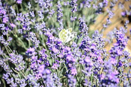 White and yellow butterfly in blue violet levandula flowers close up.