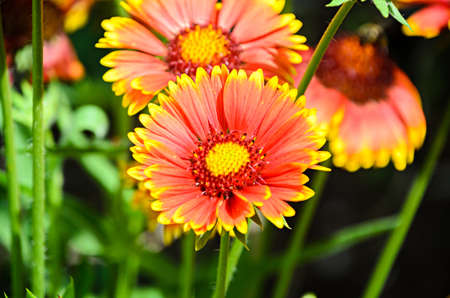 Yellow-Orange Chrysanthemum flower, mum or chrysanths, close up
