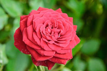 Red rose flower, green vegetation bokeh background.