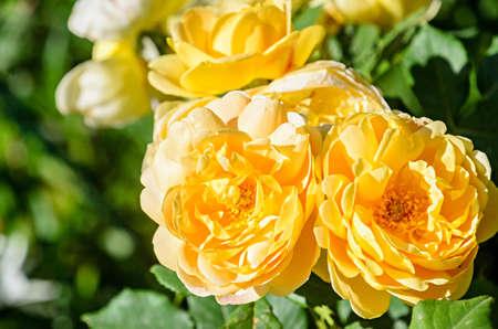 Yellow rose flower, green vegetation bokeh background. Banco de Imagens