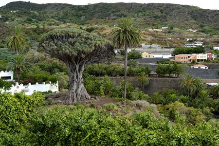 thousandth: drago milenario, Icod de los vinos, Tenerife, Spain