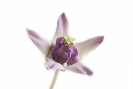 gigantesque: Fleur de la Couronne, g�ant indien ascl�piade, Gigantic Swallow-mo�t Banque d'images