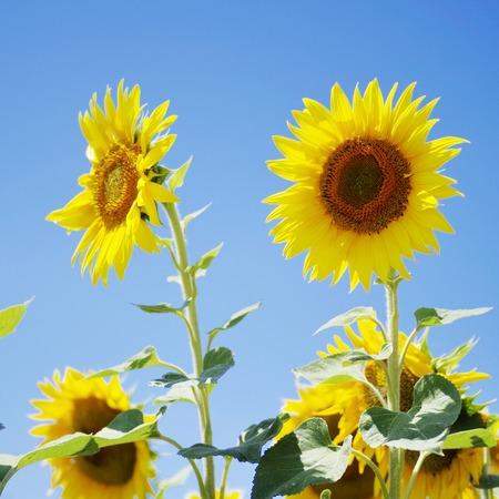 Sun flower: Schöne Sonnenblumen blühen im Feld Lizenzfreie Bilder