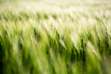 cebada: Barley green field on a sunny day Foto de archivo