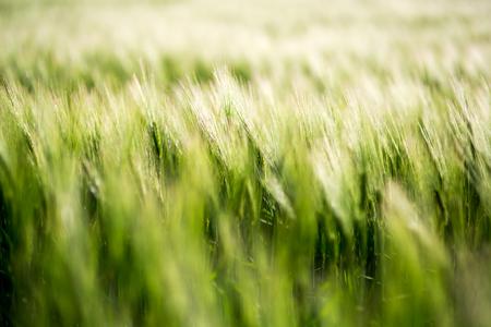 Le champ vert d'orge sur une journée ensoleillée