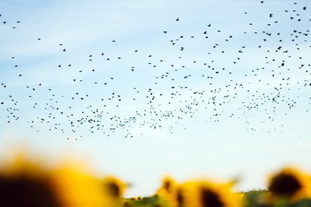 migrating: Flock of birds migrating to a different continent