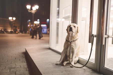 dog waiting: Cute obedient dog waiting for owner to come outside