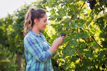 winegrowing: Winegrower woman inspecting grapes in vineyard