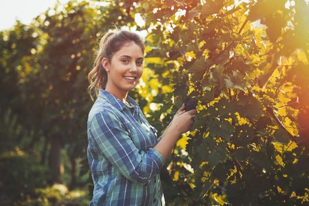 Woman inspecting grapes in vineyard