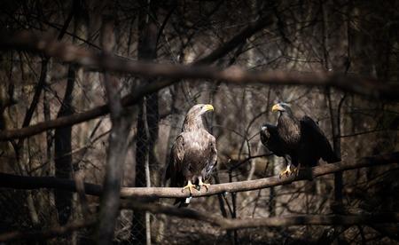 Two beautiful dark grey eagles in wildlife sitting Stock Photo - 75090462