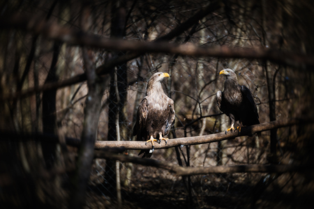Two beautiful dark grey eagles in wildlife sitting