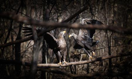 Two beautiful dark grey eagles in wildlife sitting Stock Photo - 75090724