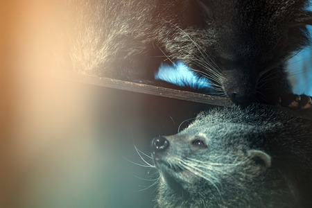 bearcat: Rare beautiful endangered binturong animals touching Stock Photo