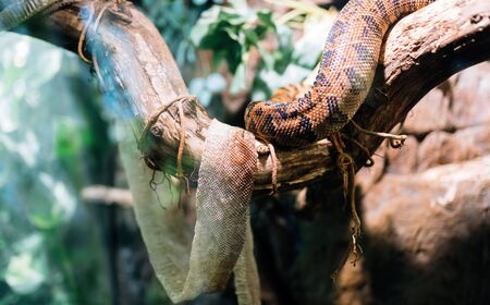Picture of snake and its shedded skin on tree Фото со стока - 86281451