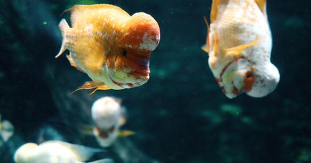 Portrait of flowerhead cichild fish swimming in aquarium