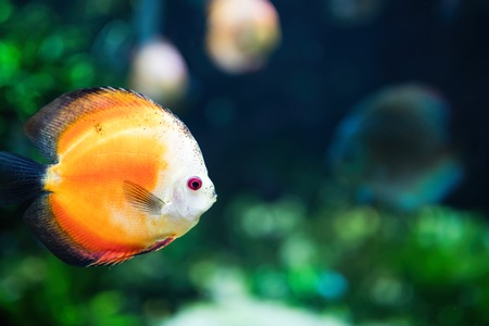 Portrait of beautiful exotic fish swimming underwater