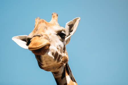 Close-up picture of girafee looking into camera