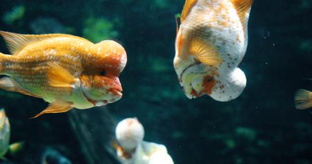 수족관에서 수영하는 flowerhead cichild 물고기의 초상화