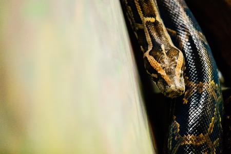 Close-up picture of dangerous grown up python