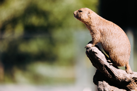 Portrait of little marmot standing on tree in nature Stok Fotoğraf